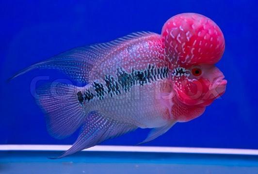 7222558-cichlid-fish