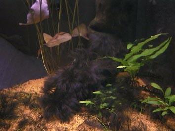 algue noire2