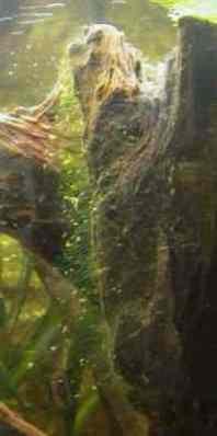 algues-racine