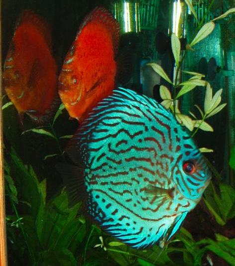Souvent Les Discus – Aquariums de Véronique EA65