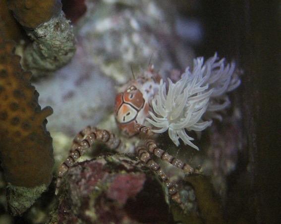 crabe2