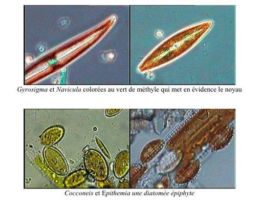diatome1