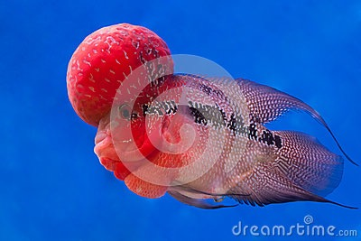 poissons-de-cichlid-de-flowerhorn-52122089