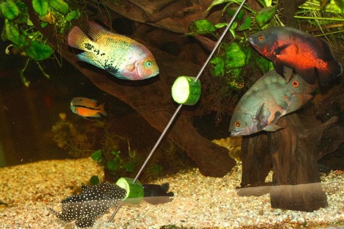 Cichlid s am ricains aquariums de v ronique for Gros poisson aquarium