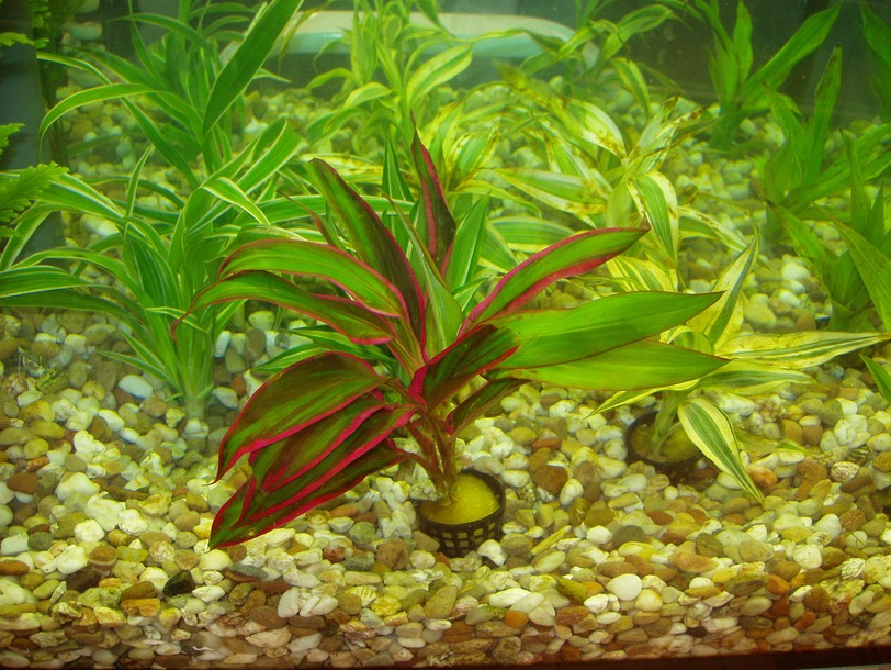 Achat plante aquarium for Aquarium rouge