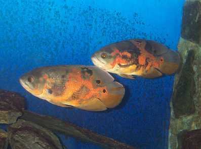 Forum d 39 aquariophilie poisson viter quand on pas for Bac communautaire poisson rouge