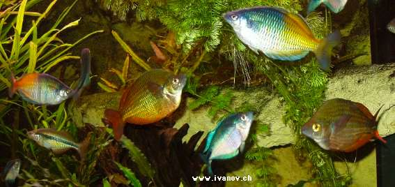 Poisson d 39 ornement aquarium images for Poisson tropicaux pour aquarium
