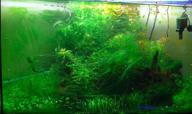 algues vertes aquarium images