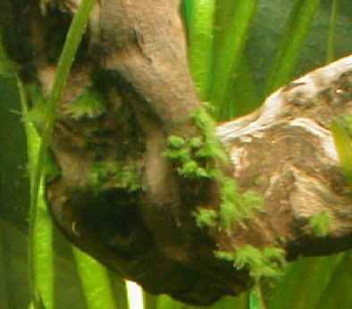 comment se d barrasser des algues sur les pierres et racines. Black Bedroom Furniture Sets. Home Design Ideas
