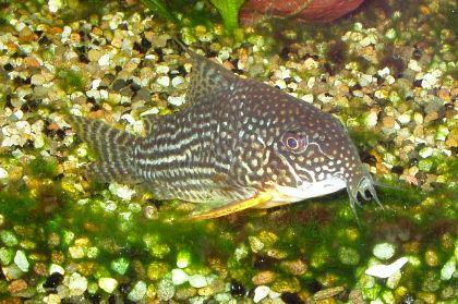 Poisson aquarium eau douce nettoyeur for Nettoyeur aquarium poisson